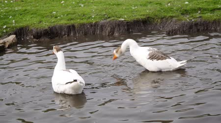 kaczki : Geese swim and dive in the lake on the farm. Wideo