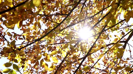 outonal : Autumn background, yellow leaves and rays of the sun.