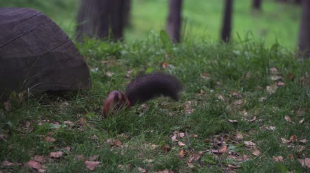 sciurus : A squirrel in a park with a fluffy tail is jumping on the grass.