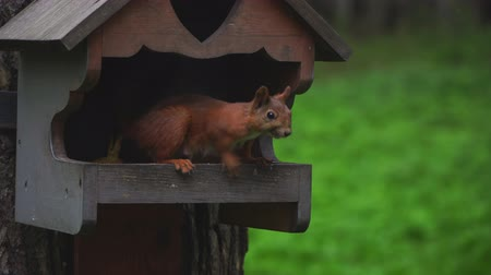 sciurus : A female squirrel in a park sits in a manger on a tree.