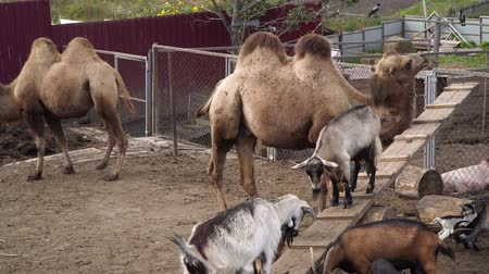 enclosure : Farm animals, camels and goats in aviaries.