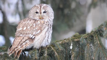 outbound : Closeup view on tawny owl sitting on coniferous tree, when she look around and flies away