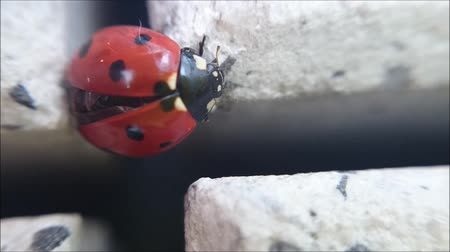 flap : Ladybug climbing in cross from paving stone and cleaning its self from closeup macro detail view