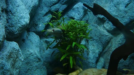 water show : Beautiful fish in the aquarium on decoration  of aquatic plants background. A colorful  fish in fish tank. Stock Footage