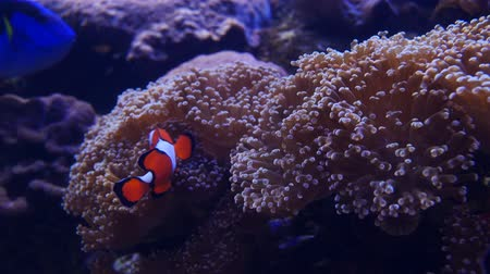 discus : Beautiful sea flower in underwater world with corals and fish.