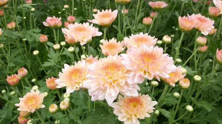chryzantema : Chrysanthemums flower, , sometimes called mums or chrysanths, They are native to Asia and northeastern Europe. Most species originate from East Asia and the center of diversity is in China. Wideo
