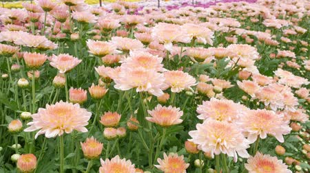 dewy : Chrysanthemums flower, , sometimes called mums or chrysanths, They are native to Asia and northeastern Europe. Most species originate from East Asia and the center of diversity is in China. Stock Footage