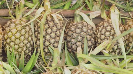 karnabahar : Fresh pineapple from the orchard put up for sale.The pineapple is a tropical plant with an edible multiple fruit consisting of coalesced berries, also called pineapples. Stok Video