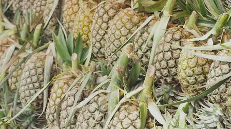 ananás : Fresh pineapple from the orchard put up for sale.The pineapple is a tropical plant with an edible multiple fruit consisting of coalesced berries, also called pineapples. Vídeos
