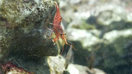 chlupatý : Hinge- beak shrimp, It is beautiful small shrimp in fish tank.