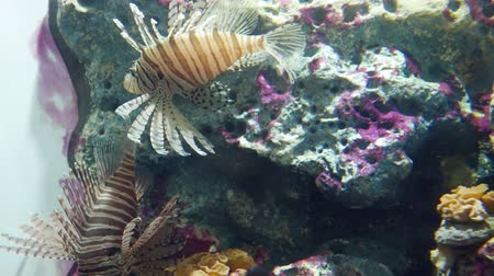 tanque : Beautiful fish in the aquarium on decoration  of aquatic plants background. A colorful  fish in fish tank. Vídeos