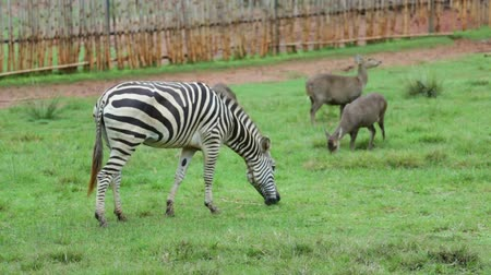 savanna : Zebra is eating green grass in the daytime. Stock Footage