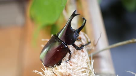 stag beetle : Beetles are eating sugarcane.