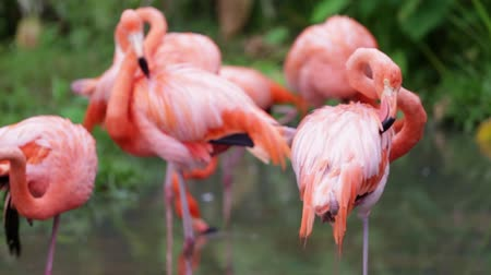 brodění : Orange and white flamingo cleaning feathers in garden  and nature background.