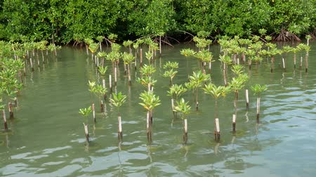 swamp : Mangroves is found in the Indo-Pacific region on the banks of rivers and on the edge of the sea. Mangroves typically have numerous tangled roots above ground and form dense thickets.
