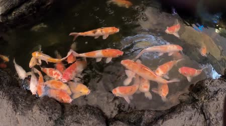 goldfish : Fancy Carps Fish or Koi fish swim in Pond, Colorful decorative fish float in an artificial pond. Stock Footage