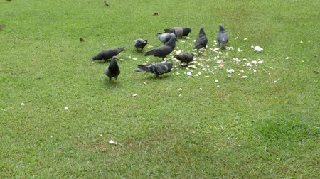 fishing village : Dove eating food On a green lawn in the daytime. Stock Footage