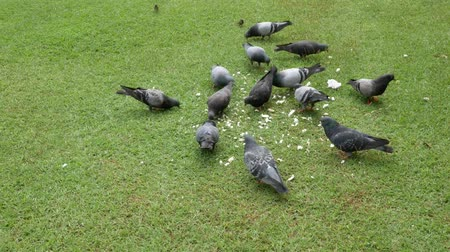 cornualha : Dove eating food On a green lawn in the daytime. Vídeos