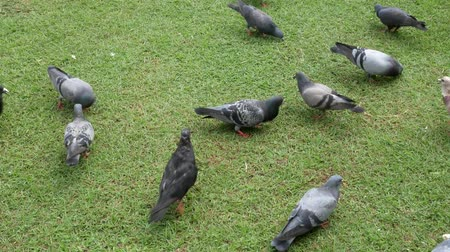 halong : Dove eating food On a green lawn in the daytime. Stock Footage