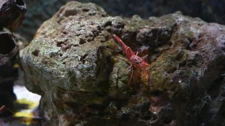 libélula : Hinge- beak shrimp, It is beautiful small shrimp in fish tank.