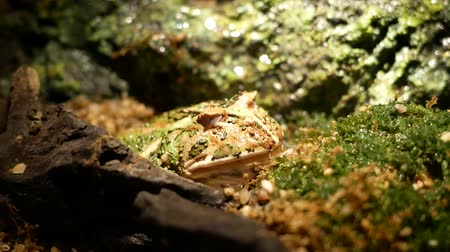 tanımlayıcı : Green Paddy Frog. The green frog is buried in the sand.