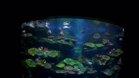 freshwater : Beautiful fish in the aquarium on decoration  of aquatic plants background. A colorful  fish in fish tank. Stock Footage