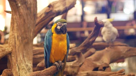 arara : Macore Bird Hold on tree branch. Beautiful macore Parrot bird standing on a wooden.