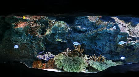 obiektyw : Beautiful fish in the aquarium on decoration  of aquatic plants background. A colorful  fish in fish tank. Wideo