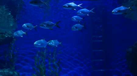 discus : Beautiful fish in the aquarium on decoration  of aquatic plants background. A colorful  fish in fish tank. Stock Footage