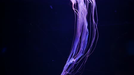 saltwater : Close-up Jellyfish, Medusa in fish tank with neon light. Stock Footage