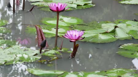 leknín : A purple lotus is one of the beautiful flower type.