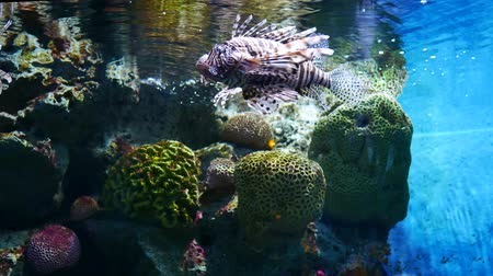 discus : Beautiful fish ( lion fish ) in the aquarium on decoration of aquatic plants background. A colorful fish in fish tank.