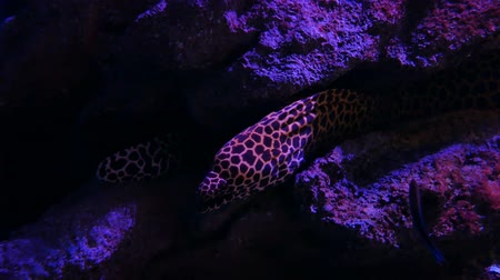 galaretka : Sea eels in fish tank, Aquarium decoration. Moray Eel in fish tank.