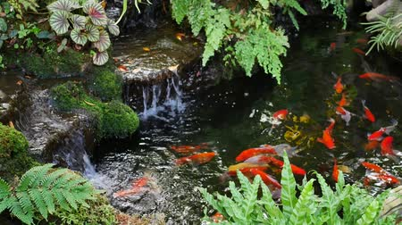 goldfish : Golden fish swimming in pond and small waterfall.