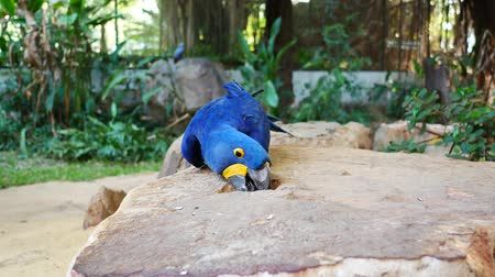 arara : Macore Bird Hold on tree branch. Beautiful macore Parrot bird standing on a stone. Vídeos