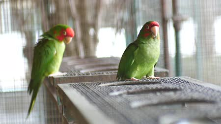papagaio : Beautiful macore Parrot bird standing in large bird cage.