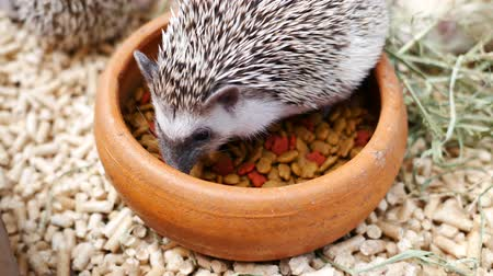 spiny : Hedgehog Erinaceus Europaeus eating food.
