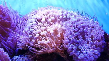 rózsaszín : Beautiful sea flower in underwater world with corals and fish. Sea flowers moving in fish tank. Stock mozgókép