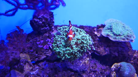 anemon : Beautiful sea flower in underwater world with corals and fish. Sea flowers moving in fish tank. Stok Video