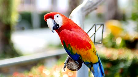 arara : Beautiful macaw parrot bird standing on a wood