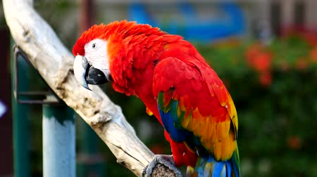 macaw : Beautiful macore parrot bird  standing on a wooden Stock Footage