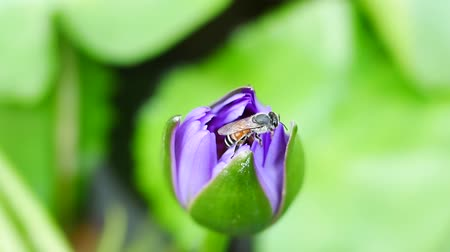 lilyum : A purple lotus flower and bee. A purple lotus is one of the beautiful flower