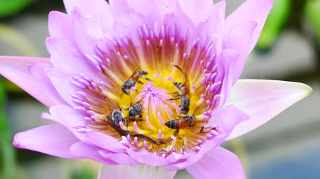 tropical insects : A purple lotus flower and bee. A purple lotus is one of the beautiful flower
