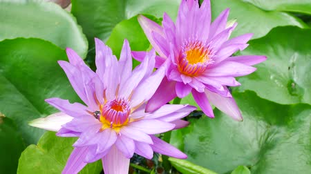 leknín : A purple lotus flower and bee. A purple lotus is one of the beautiful flower