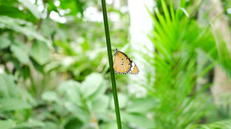 ninfa : Butterfly on tree leaf green nature  background.