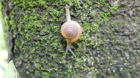 balçık : Snails walk on trees that are full of moss.