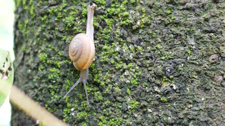 mossy : Snails walk on trees that are full of moss.
