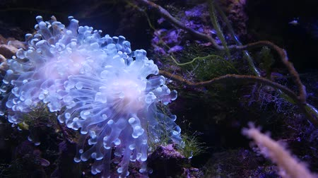 anemon : Beautiful sea flower in underwater world with corals and fish.