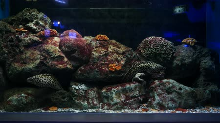 anguila : Sea eels in fish tank, Aquarium decoration. Moray Eel in fish tank.
