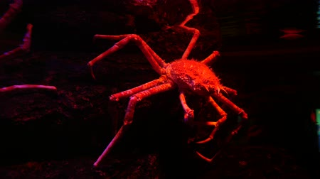 giant spider crab in fish tank Stock Footage
